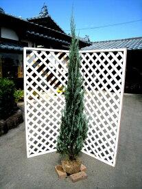ブルーエンジェル 1.7m露地 1本【1年間枯れ保証】【シンボルツリー常緑】