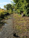 ヒメシャラ 0.5m10.5cmポット 1本【1年間枯れ保証】【街路樹&公園樹】