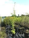 ヒメシャラ 1.7m15cmポット 3本セット 送料無料【1年間枯れ保証】【街路樹&公園樹】