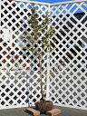 ヒメシャラ株立ち 1.7m露地 1本【1年間枯れ保証】【シンボルツリー落葉】