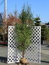 【1年間枯れ保証】【雑木】ハイノキ株立ち 2.3m露地 1本
