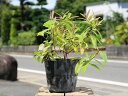 ビヨウヤナギ 0.2m15cmポット 1本【1年間枯れ保証】【低木】