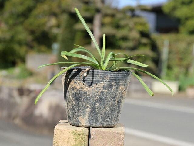 【1年間枯れ保証】【球根】ヒガンバナ 10.5cmポット 【あす楽対応】