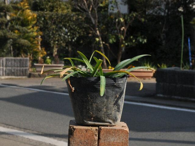 【1年間枯れ保証】【球根】シロバナヒガンバナ 10.5cmポット 【あす楽対応】