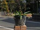 シロバナヒガンバナ 10.5cmポット 1本【1年間枯れ保証】【球根】