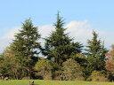 【1年間枯れ保証】【シンボルツリー落葉】ヒマラヤスギ 1.5m露地 【あす楽対応】