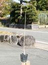 ホオノキ 0.4m10.5cmポット 1本【1年間枯れ保証】【山林苗木】