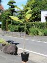 ホオノキ 0.8m10.5cmポット 1本【1年間枯れ保証】【山林苗木】