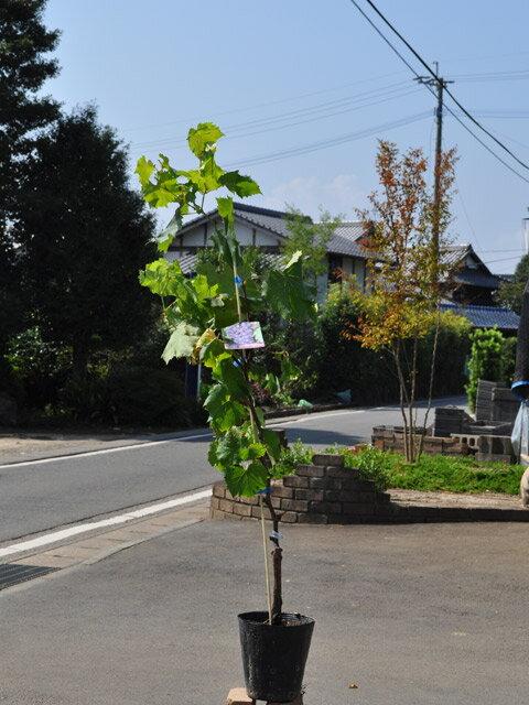 【1年間枯れ保証】【秋に収穫する果樹】ブドウ/ピオーネ 15cmポット  3本セット 送料無料