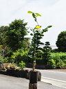 【1年間枯れ保証】【冬に収穫する果樹】ブンタン/サワーポメロ(大橘) 15cmポット  1本