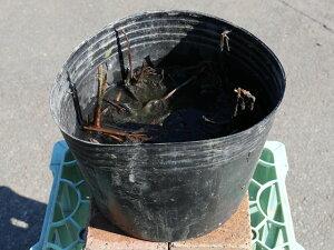 ハス/粉千叶(淡桃 大型八重) 24cmポット 2本セット 送料無料【1年間枯れ保証】【水生植物】