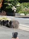 ビービーツリー 0.3m10.5cmポット 1本【1年間枯れ保証】【山林苗木】