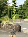 マサキ 0.3m10.5cmポット 1本【1年間枯れ保証】【生垣樹木】