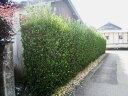 【1年間枯れ保証】【生垣樹木】マサキ 0.3m10.5cmポット 【あす楽対応】