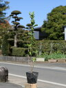 マサキ 0.5m10.5cmポット 1本【1年間枯れ保証】【生垣樹木】