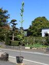 マサキ 0.7m10.5cmポット 30本セット 送料無料【1年間枯れ保証】【生垣樹木】