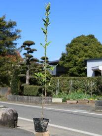 マサキ 0.7m10.5cmポット 1本【1年間枯れ保証】【生垣樹木】