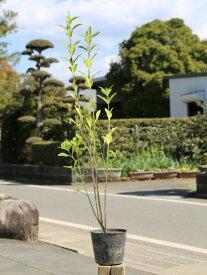 マサキ 0.8m15cmポット 14本セット 送料無料【1年間枯れ保証】【生垣樹木】