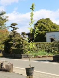 マサキ 1.0m15cmポット 1本【1年間枯れ保証】【生垣樹木】