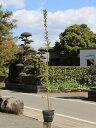 【1年間枯れ保証】【生垣樹木】マサキ 1.2m15cmポット 10本セット 送料無料