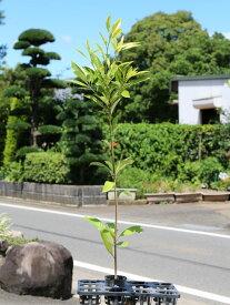 マテバシイ 1.0m10.5cmポット 1本【1年間枯れ保証】【生垣樹木】