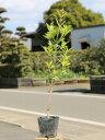 オウゴンマサキ 0.5m10.5cmポット 25本セット 送料無料【1年間枯れ保証】【生垣樹木】