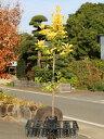 【1年間枯れ保証】【生垣樹木】オウゴンマサキ 0.8m15cmポット 10本セット 送料無料 【あす楽対応】