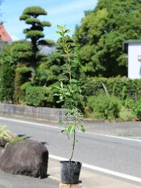 ナカフキンマサキ 0.5m10.5cmポット 1本【1年間枯れ保証】【生垣樹木】