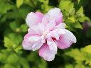 【1年間枯れ保証】【夏に花が咲く木】ムクゲ 0.7m10.5cmポット 【あす楽対応】