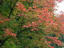 【1年間枯れ保証】【シンボルツリー落葉】メグスリノキ単木 2.0m露地 【配達指定不可/大型商品/個別送料2800円】