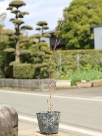 イロハモミジ 0.3m10.5cmポット 1本【1年間枯れ保証】【紅葉が美しい木】