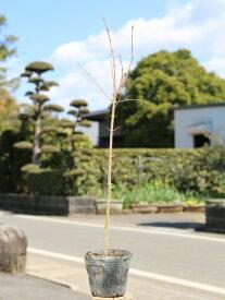 イロハモミジ 0.5m10.5cmポット 1本【1年間枯れ保証】【紅葉が美しい木】