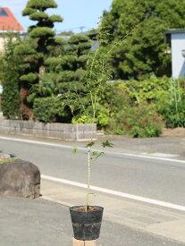 イロハモミジ 0.8m15cmポット 1本【1年間枯れ保証】【紅葉が美しい木】