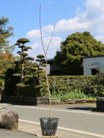 イロハモミジ 0.7m10.5cmポット 1本【1年間枯れ保証】【紅葉が美しい木】