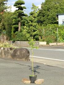 イロハモミジ 1.0m15cmポット 1本【1年間枯れ保証】【紅葉が美しい木】
