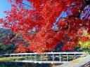 【1年間枯れ保証】【紅葉が美しい木】イロハモミジ 1.7m15cmポット 【あす楽対応】