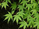 【1年間枯れ保証】【シンボルツリー落葉】イロハモミジ株立ち 1.5m 【あす楽対応】