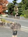 ムラサキシキブ 0.5m10.5cmポット 1本【1年間枯れ保証】【葉や形を楽しむ木】