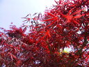 【1年間枯れ保証】【シンボルツリー落葉】ノムラモミジ 0.8m 18cmポット 【あす楽対応】