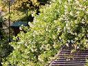 【1年間枯れ保証】【つる性】モッコウバラ/黄色 1.5m長尺 2本セット 送料無料 【あす楽対応】