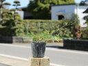 モッコウバラ/白花 9.0cmポット 1本【1年間枯れ保証】【つる性】