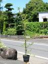モッコウバラ/白花 1.0m長尺15cmポット 1本【1年間枯れ保証】【つる性】