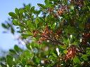【1年間枯れ保証】【街路樹&公園樹】モッコク 0.6m15cmポット 【あす楽対応】