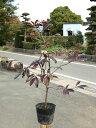 モッコク 0.6m15cmポット 1本【1年間枯れ保証】【街路樹&公園樹】
