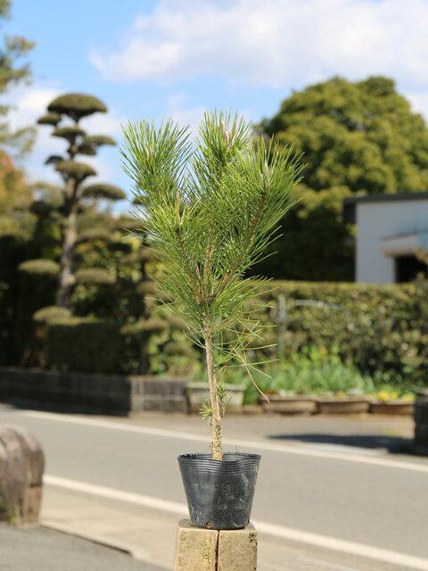 【1年間枯れ保証】【山林苗木】クロマツ 0.3m10.5cmポット 1本