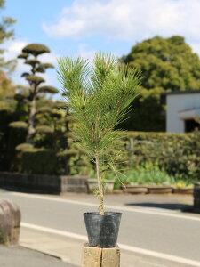 クロマツ 0.3m10.5cmポット 1本【1年間枯れ保証】【山林苗木】