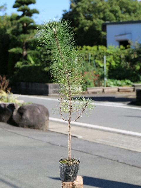 【1年間枯れ保証】【山林苗木】クロマツ 0.5m10.5cmポット 1本