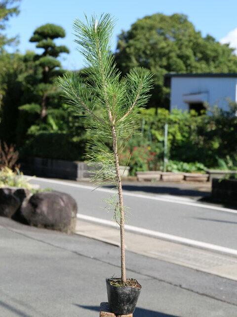 【1年間枯れ保証】【山林苗木】クロマツ 0.7m10.5cmポット 30本セット 送料無料