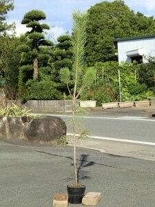 クロマツ 1.4m15cmポット 6本セット【1年間枯れ保証】【山林苗木】