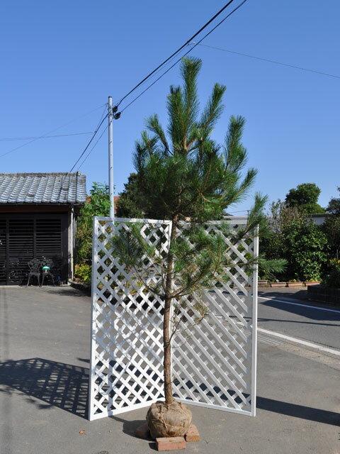 【1年間枯れ保証】【シンボルツリー常緑】クロマツ 2.0m露地 1本